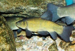 Golden Tinch Doctor Fish