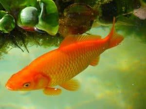 gold fish